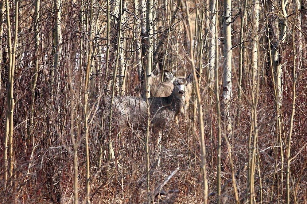 Deer Hiding