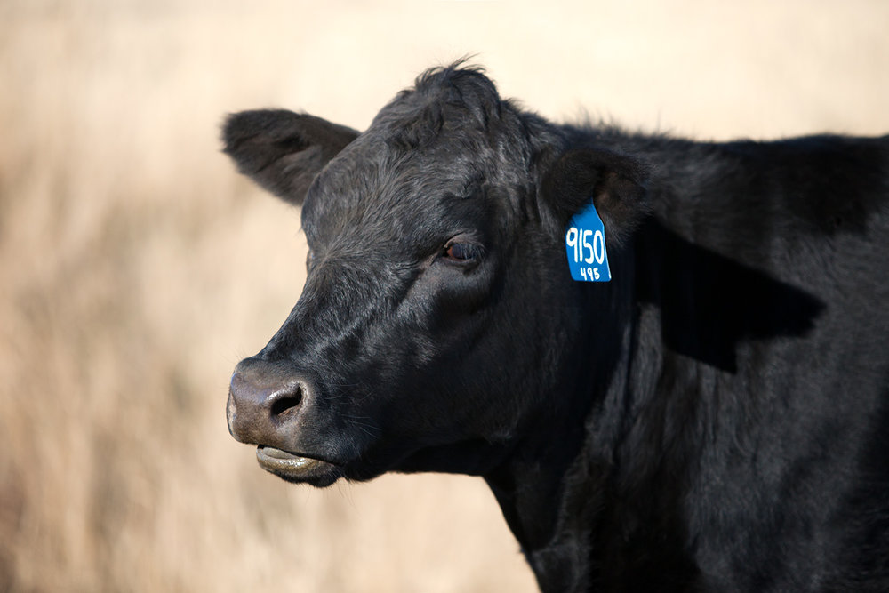 Black Angus Cow