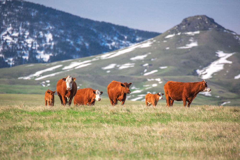Red Angus Herd
