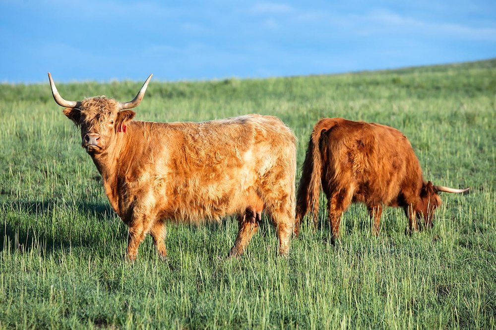 Scottish Highland Cattle Grazing