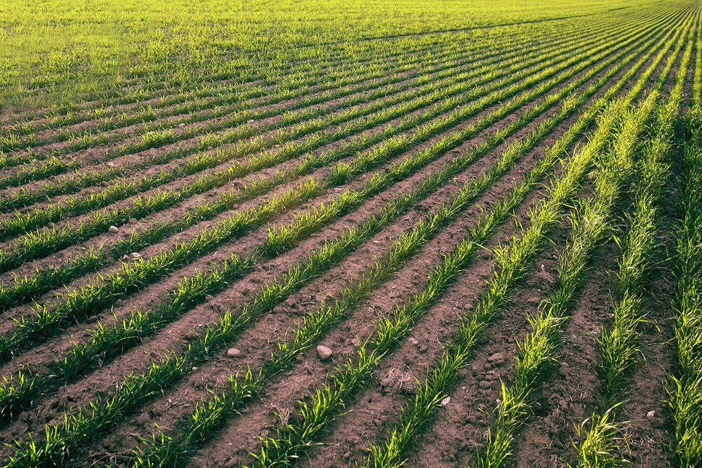 Wheat Rows