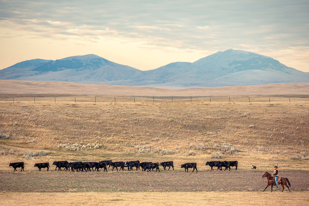 Stephen Fox, of Hays, Montana, who is a native American from the Kainai tribe, rounds up cattle in the shadow of the Bear Paw Mountains on his ranch.    → Buy a Print   or   License Photo