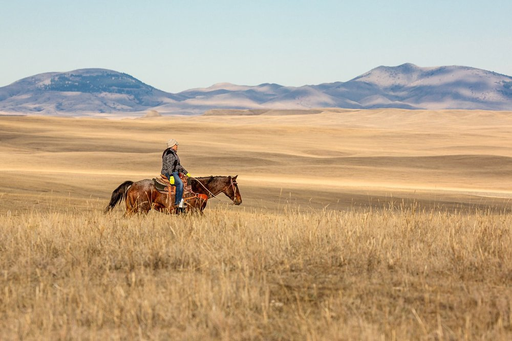 Michelle Fox, of Hays, Montana, rides her horse while rounding up cattle on the Fort Belknap Reservation.    → License Photo