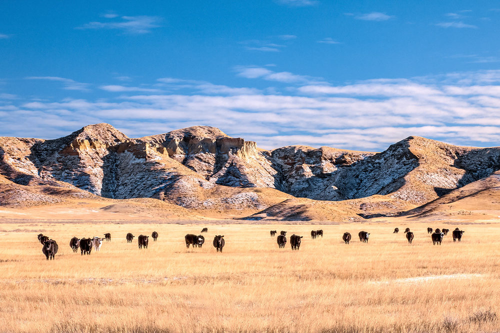 Grazing in the Badlands