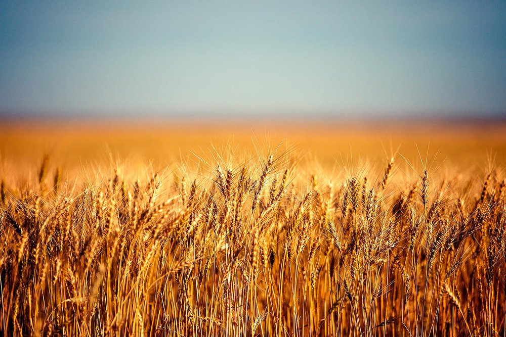 An close-up of ripe wheat along the side of a field near Chinook, Montana.   → Buy a Print   or   License Photo