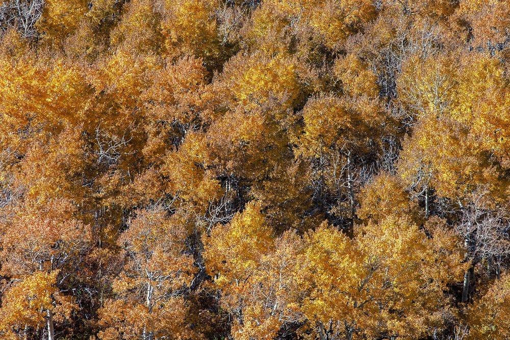 Aspen Autumn Leaves
