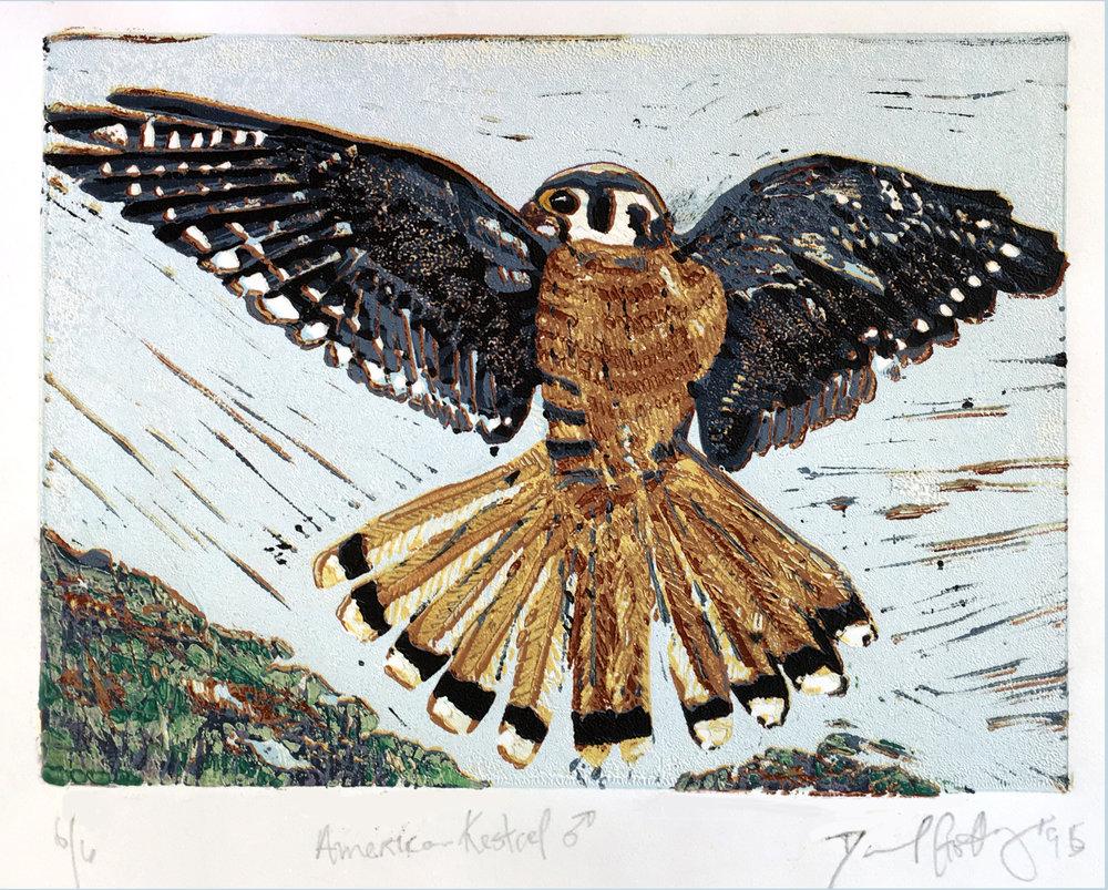 American Kestrel, Male