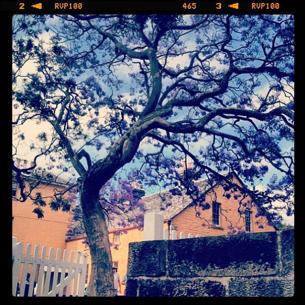 jacaranda vaucluse @aleciacw.jpg
