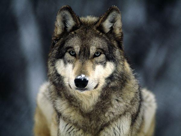 grey-wolf_565_600x450[1].jpg