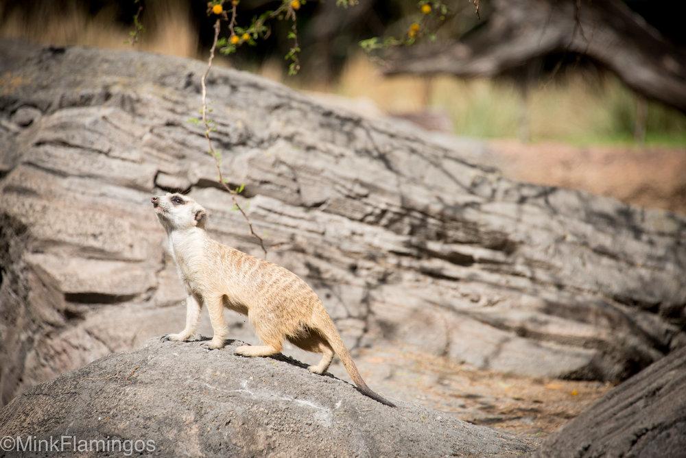 Meerkats on the Africa Trek