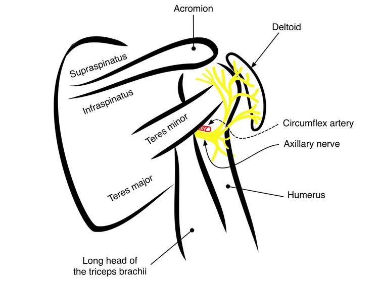 Axillary Nerve Delt Highland Em Ultrasound Fueled Pain Management