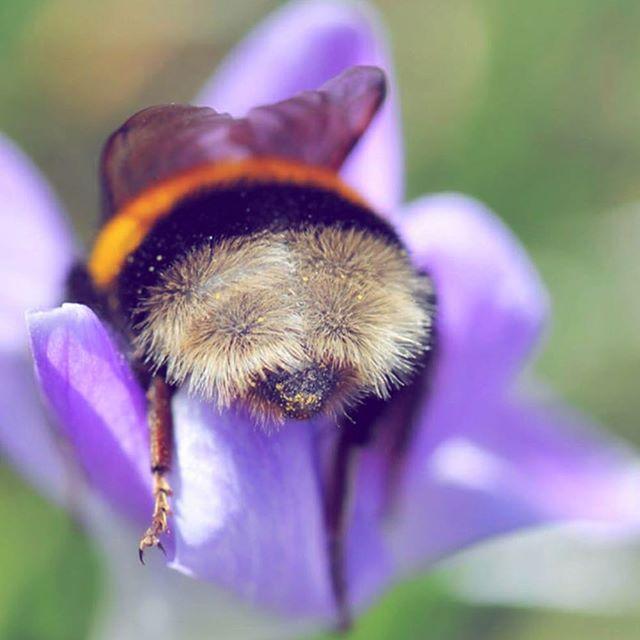 Peach fuzz, bee bum 🐝 🍑 💐🌸🌷🌹🌺💐🌻🌼💐🌻🌸🌷🌹💐#bumblebeebutt #supercutewtf