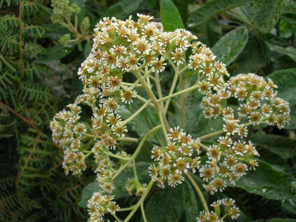 Diplostephium camargoanum.jpg