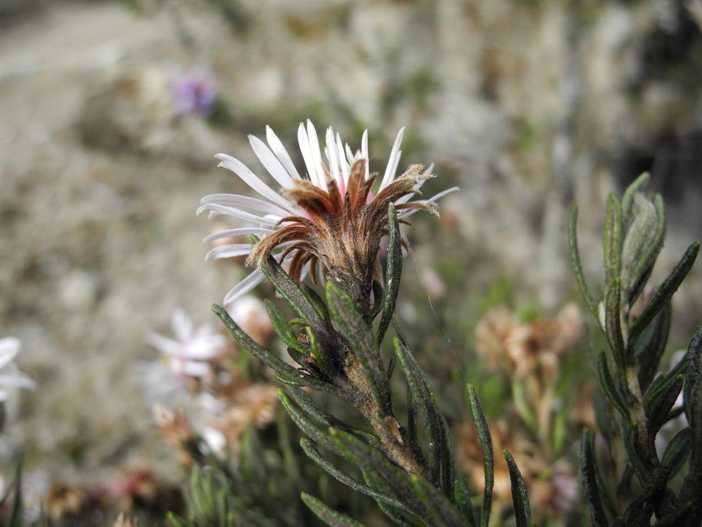 Diplostephium cf. cajamarquillense-2.jpg