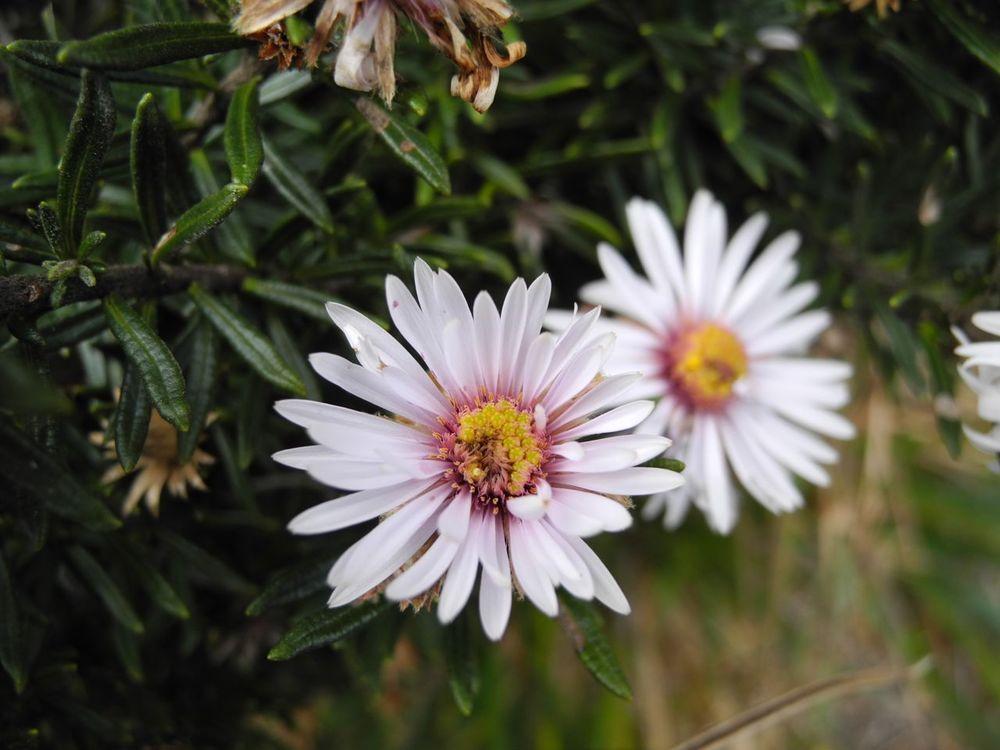 Diplostephium cf. cajamarquillense-3.jpg