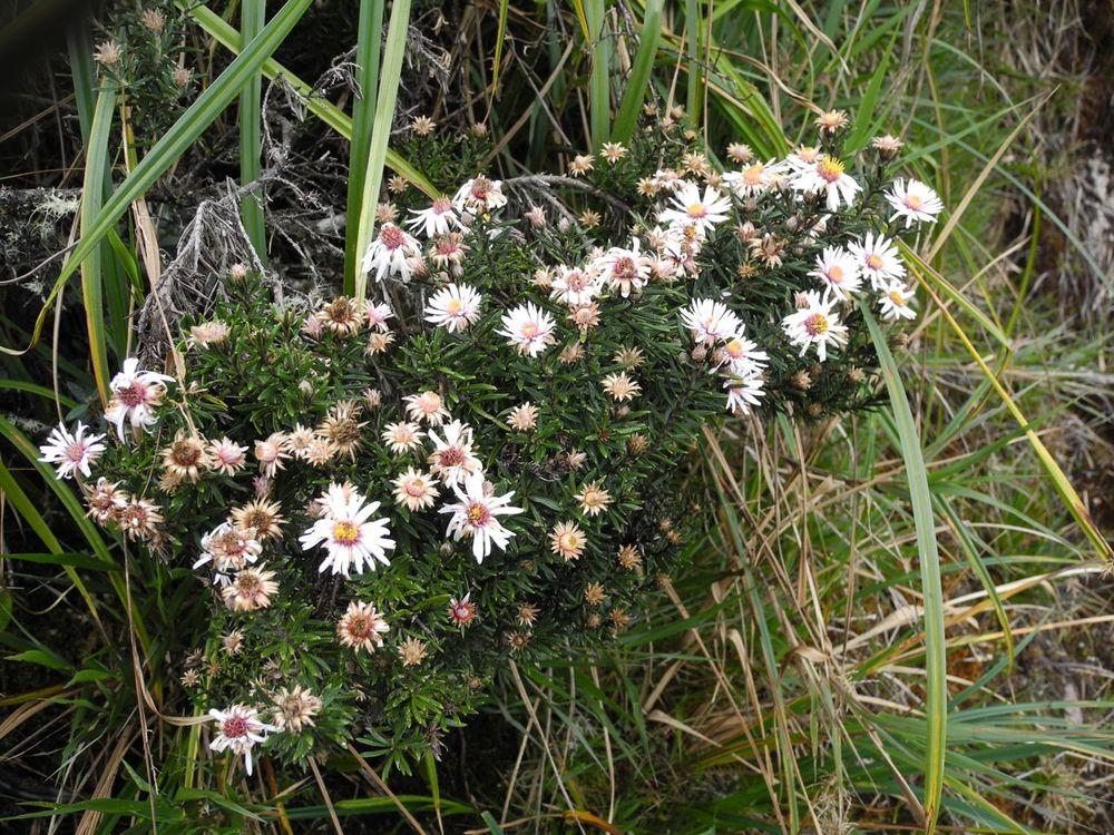 Diplostephium cf. cajamarquillense-5.jpg
