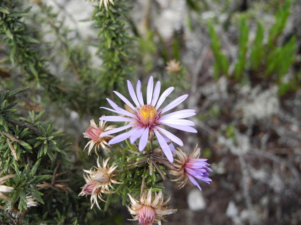 Diplostephium cf. gnidioides.jpg