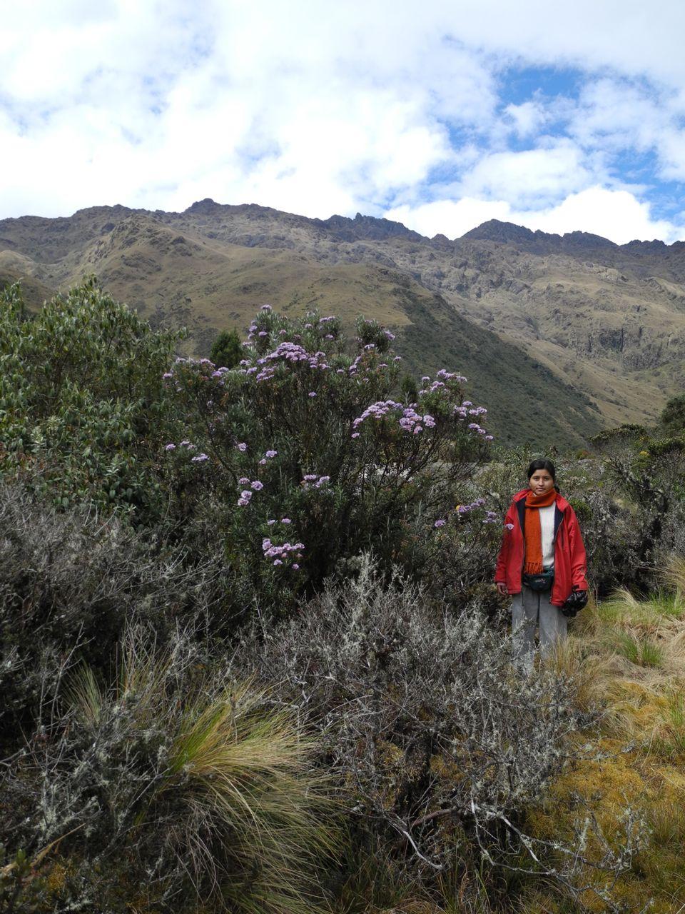 Diplostephium lecheri.jpg