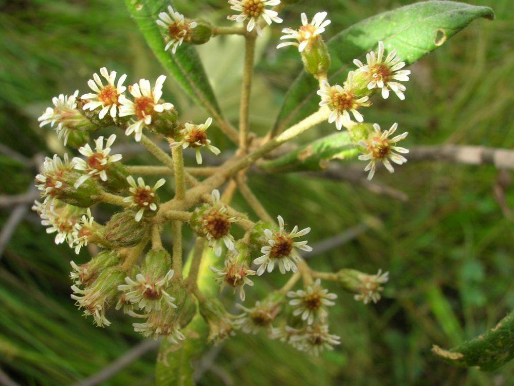 Diplostephium oblongilifolium-4.jpg