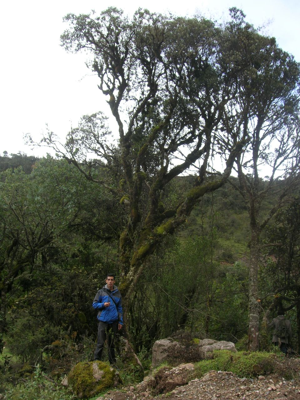 Diplostephium oblongilifolium.jpg