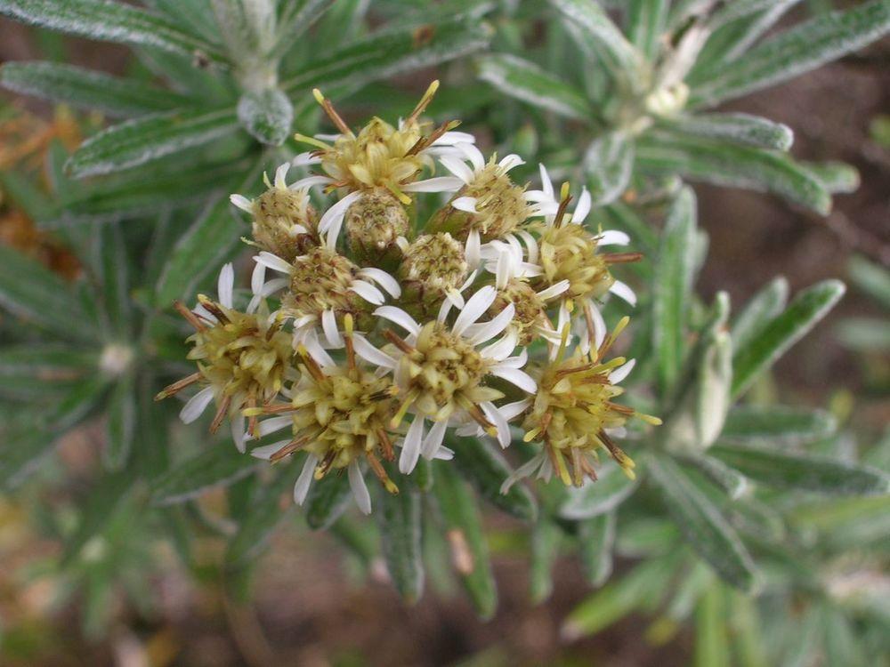 Diplostephium rosmarinifolium-4.jpg