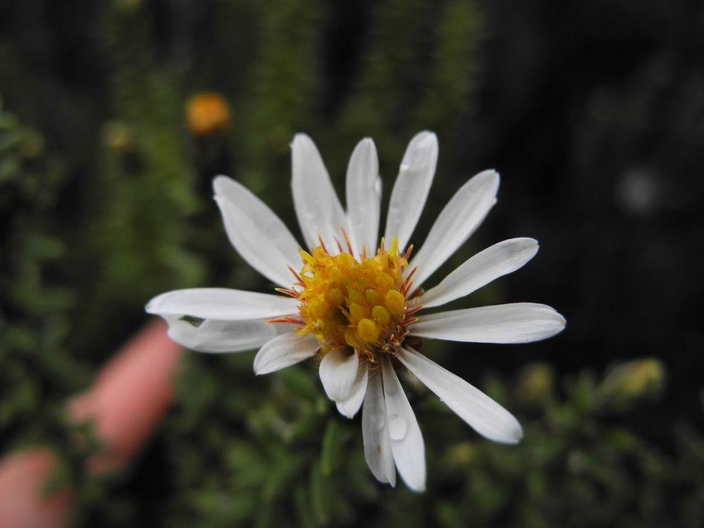 Diplostephium spinulosum-4.jpg