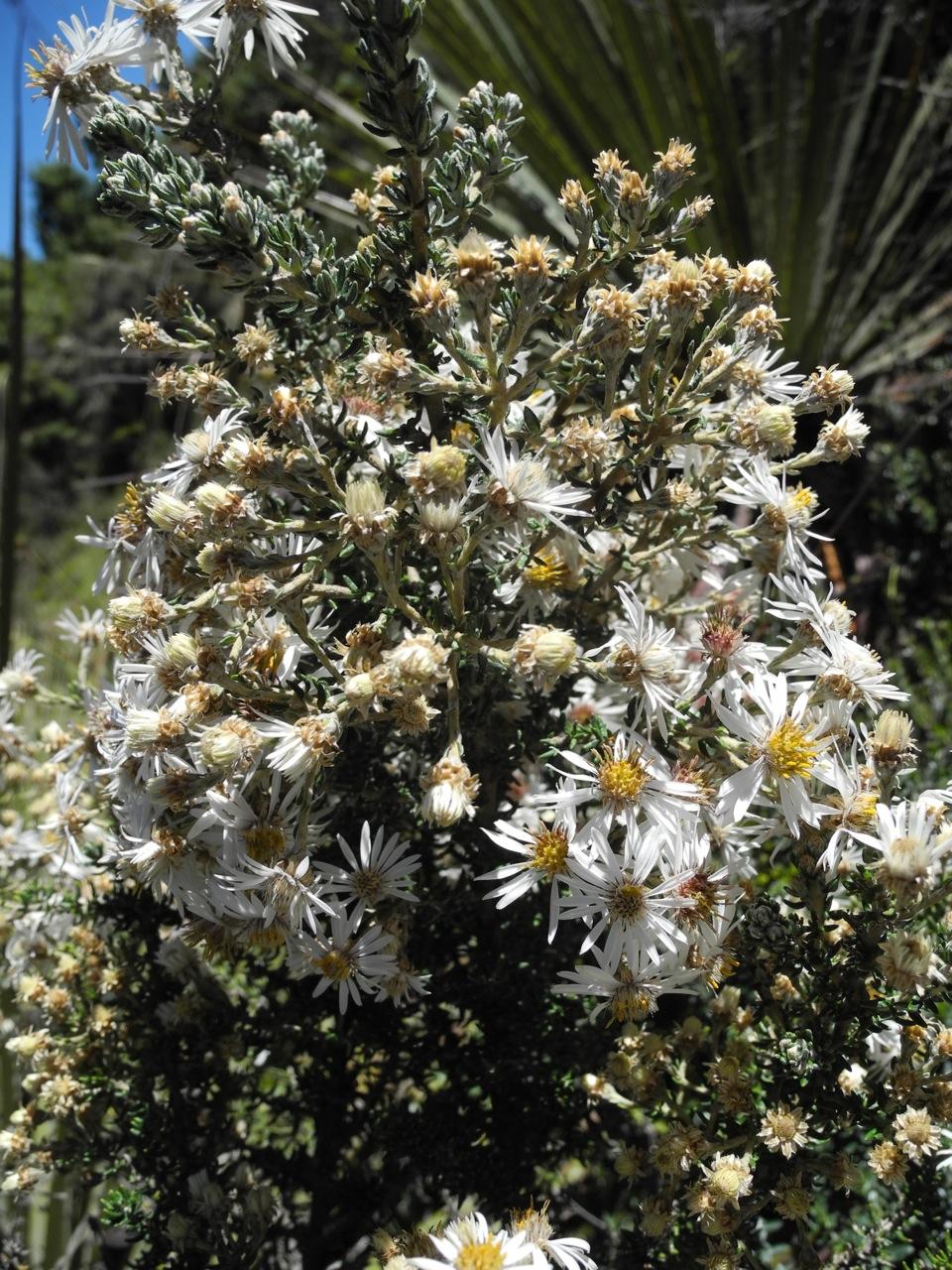Diplostephium barclayanum-14.jpg