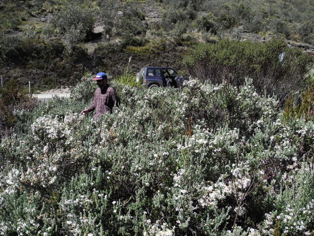 Diplostephium ericoides-11.jpg