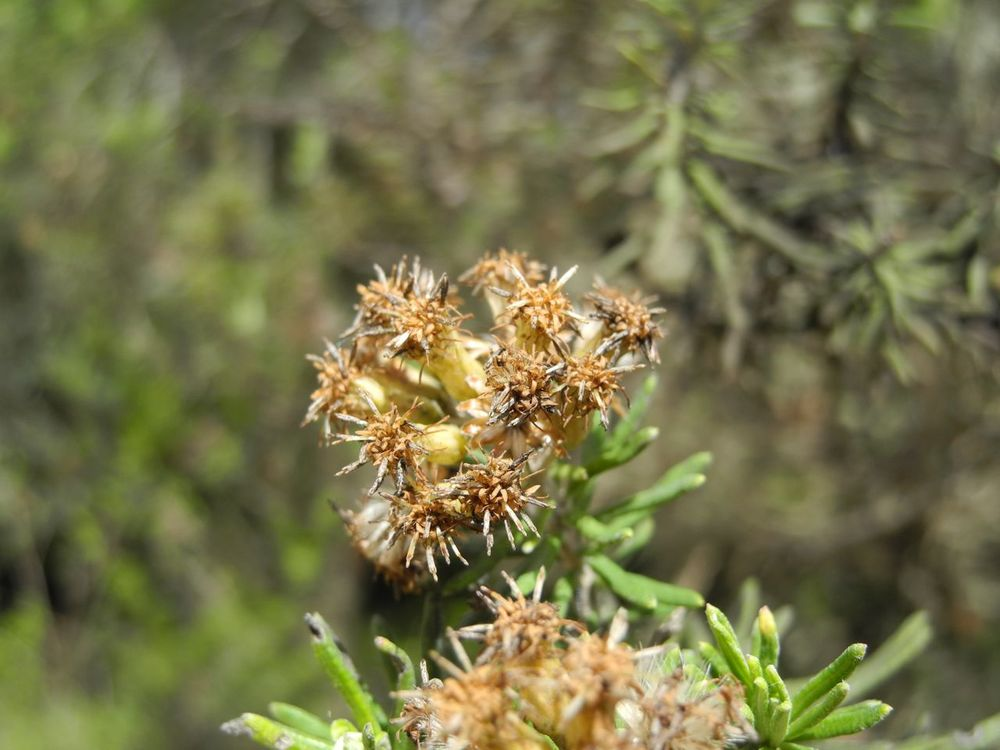 Diplostephium rosmarinifolium