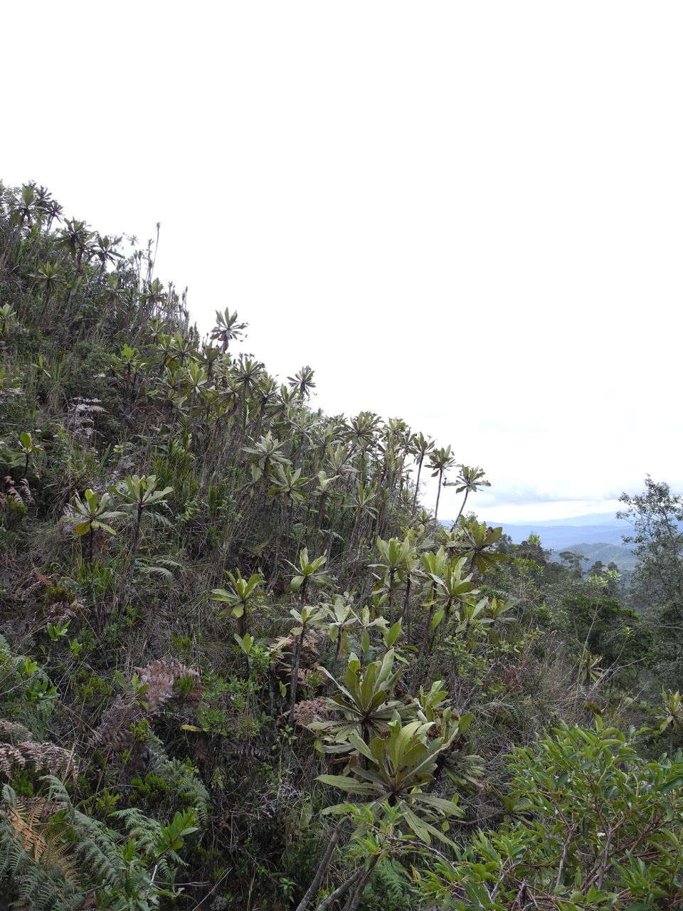 Azonal páramo at 2600 m between Arcabuco and La Palma, Boyacá, Colombia