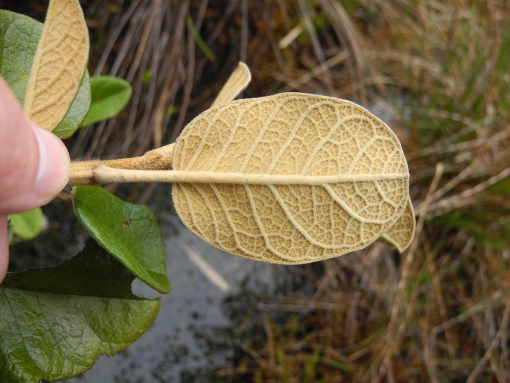 Diplostephium huertasii-3.jpg