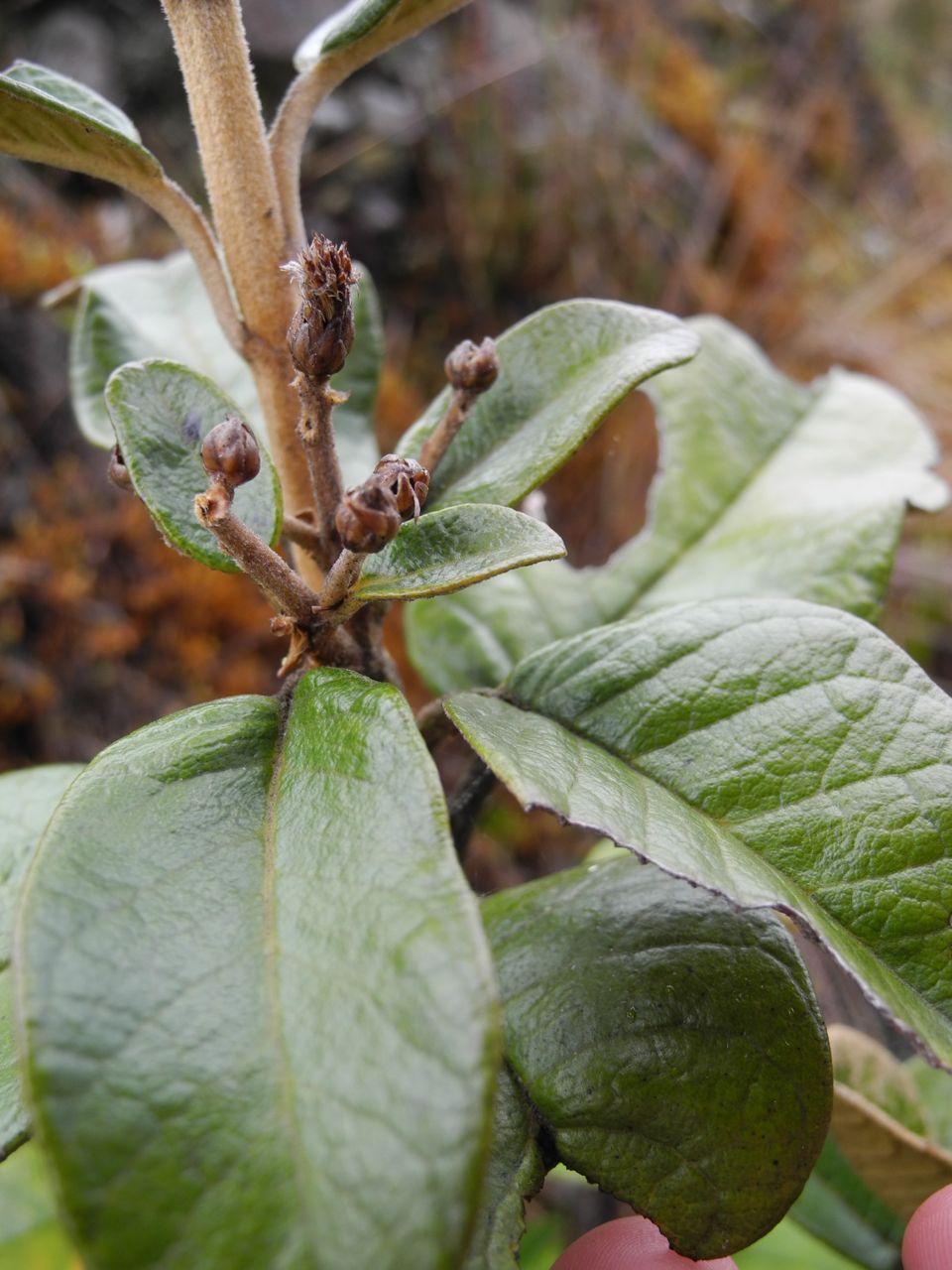 Diplostephium huertasii-6.jpg