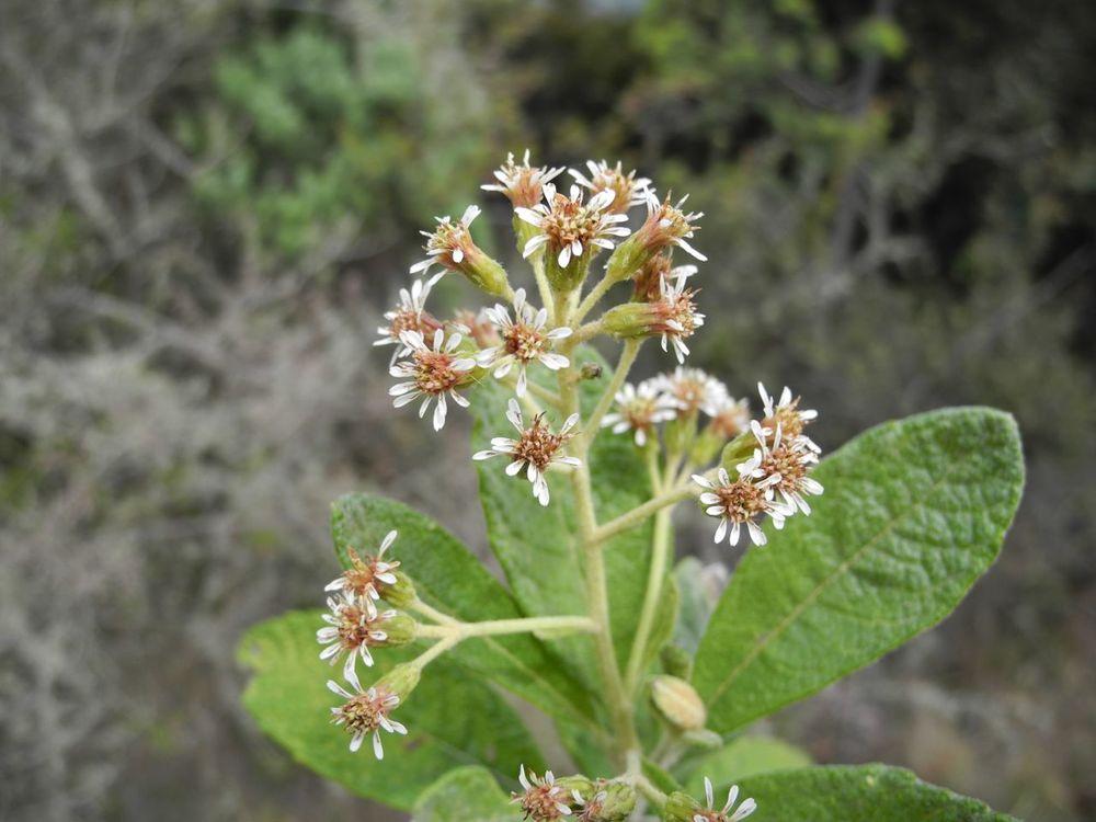 Diplostephium jenesanum-4.jpg