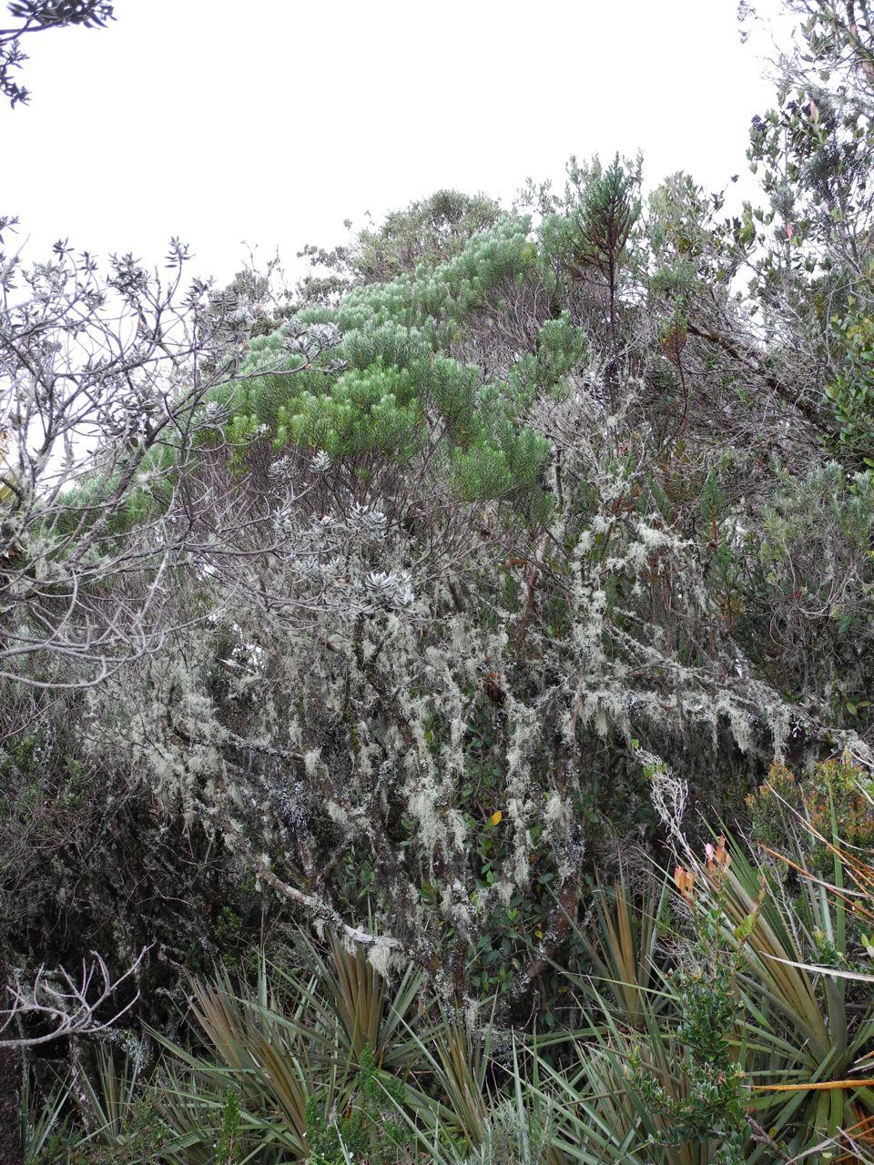 Diplostephium rosmarinifolium-Ant.jpg