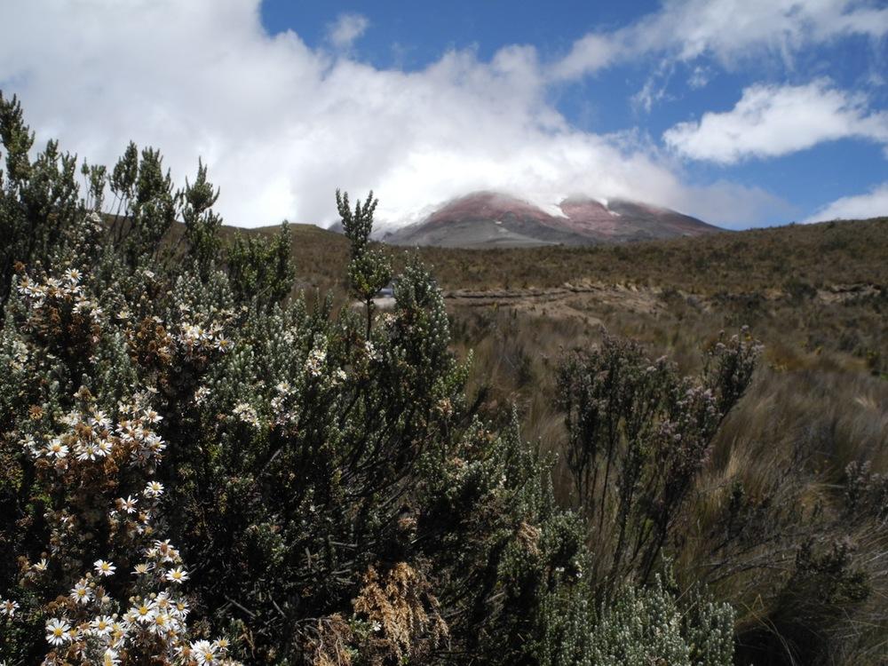 Diplostephium ericoides at Cotopaxi, Ecuador