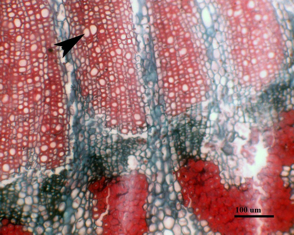 Cross section of  Diplosptehium colombianum  stem, arrow indicates a vessel.