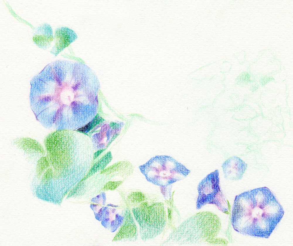 Morning Glory Sketch