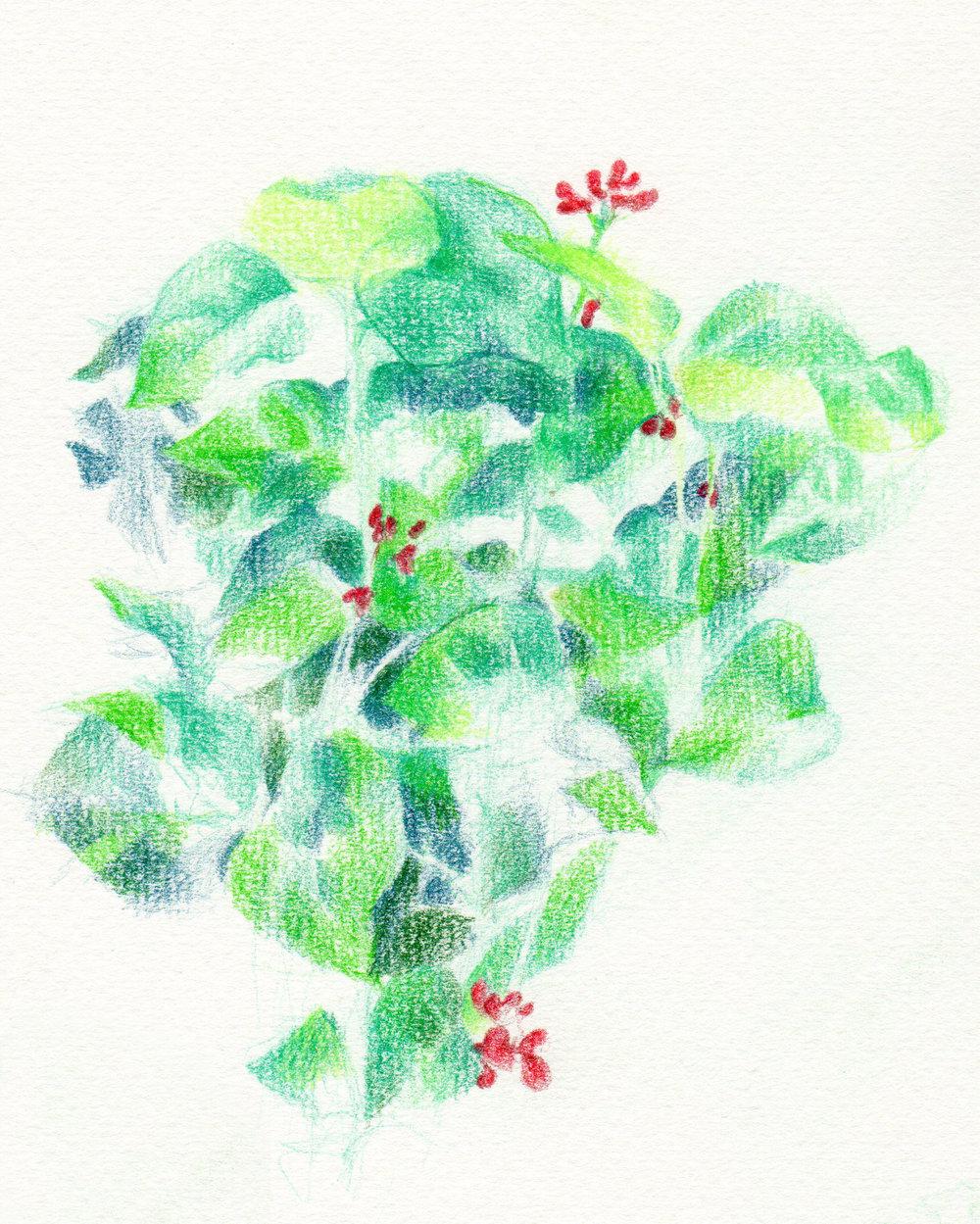 Scarlett Runner Beans sketch