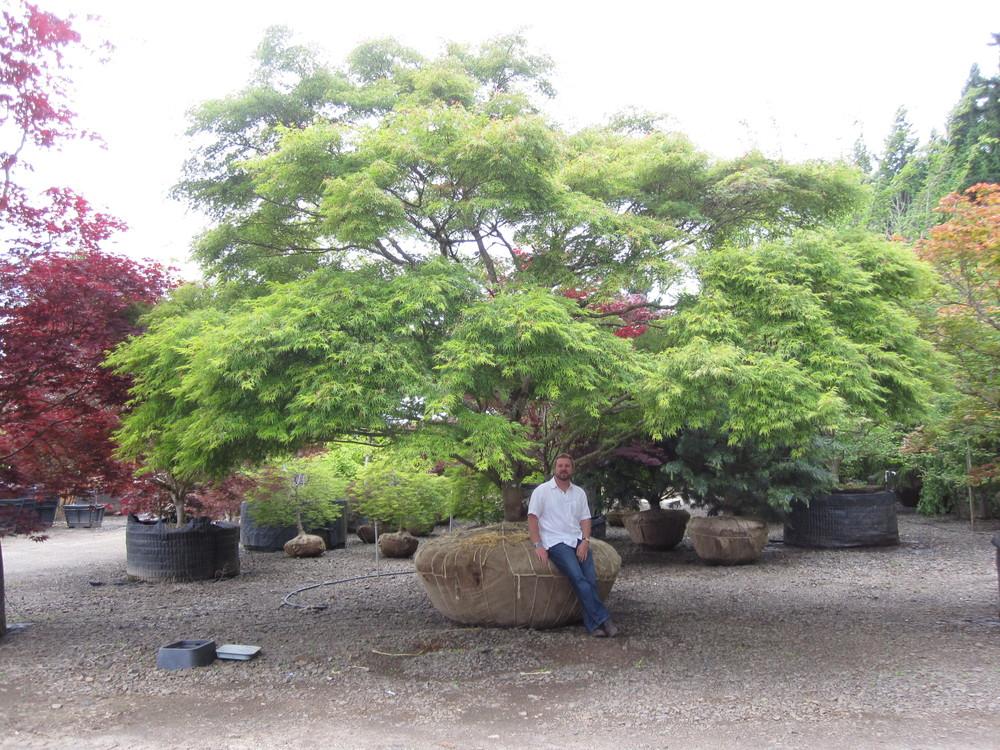 Acer p. d.  'Seiryu' Specimen