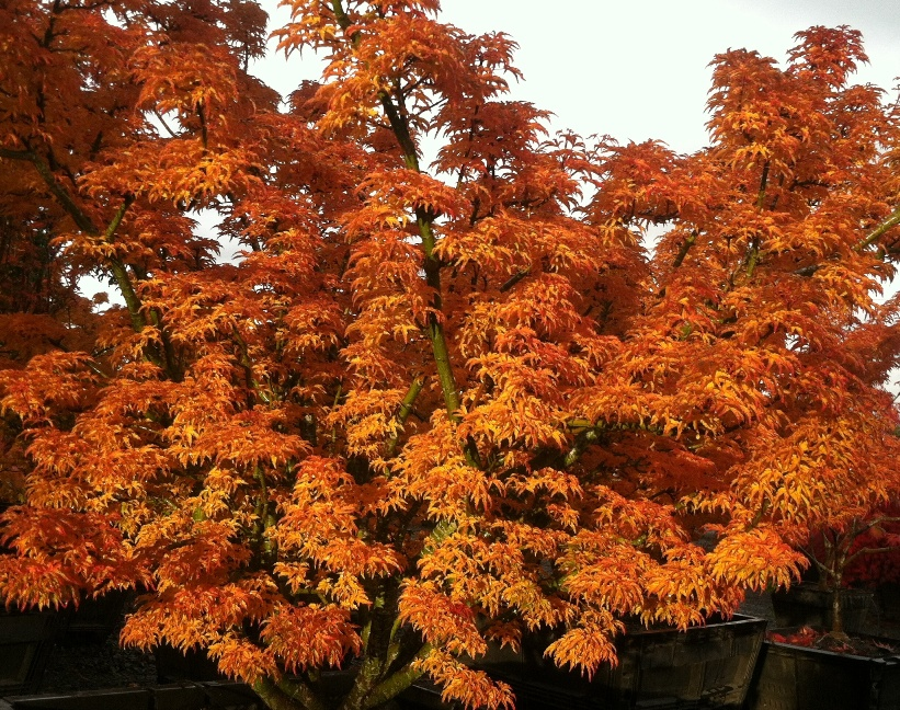 Acer p.  'Shishigashira'  Fall Color