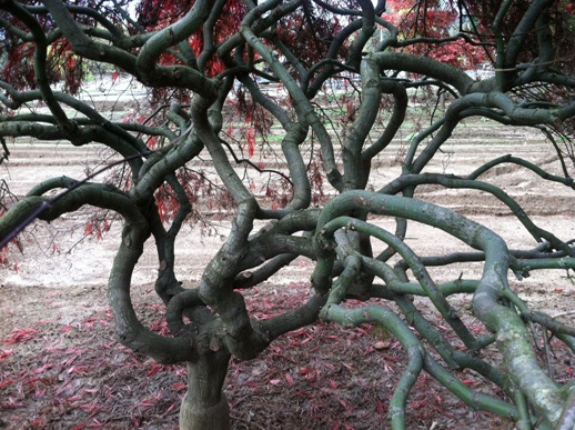 Gnarled branches