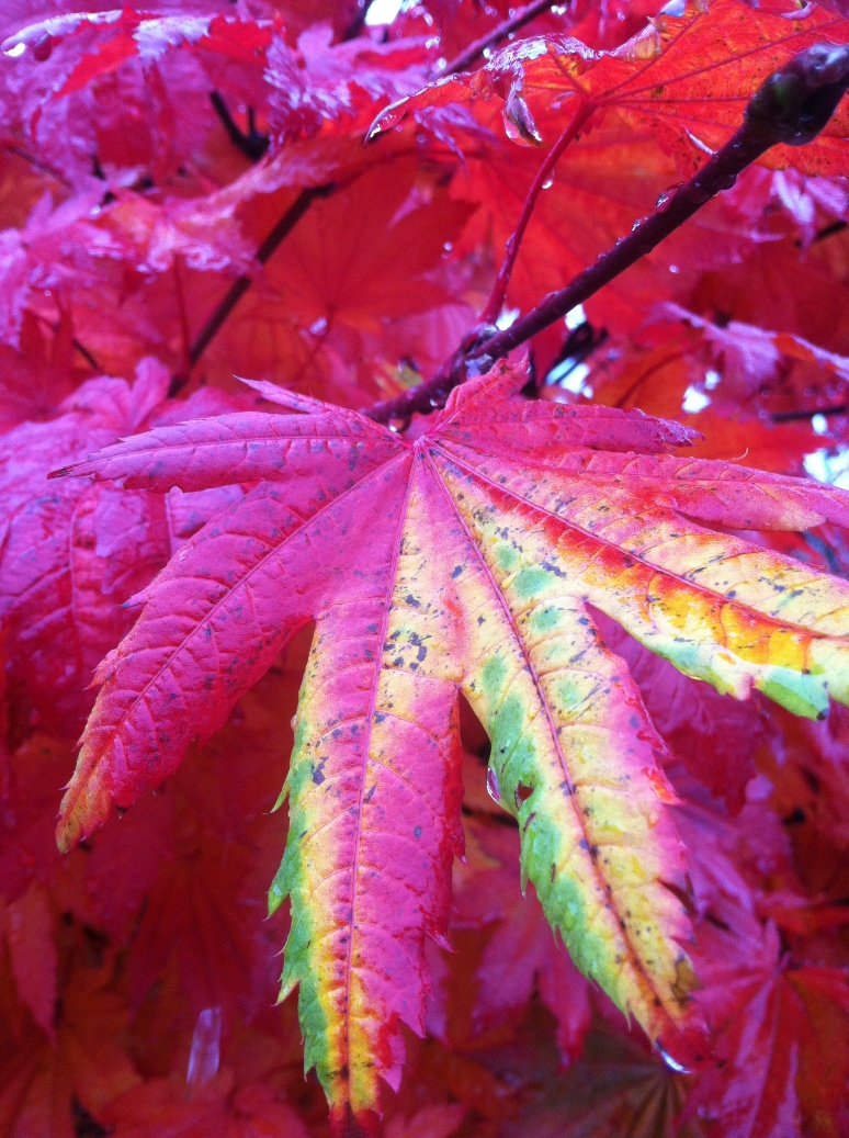 Acer j.  'Vitifolium'  Fall Color