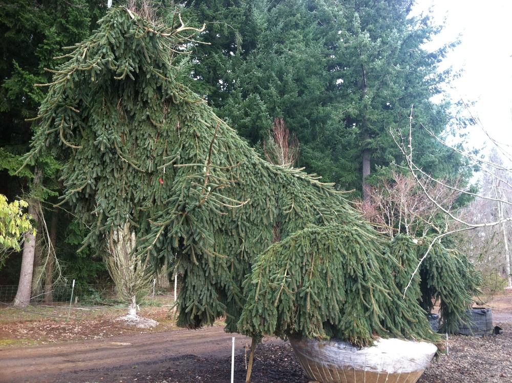 Picea abies  'Glauca Pendula' SPECIMEN- SOLD