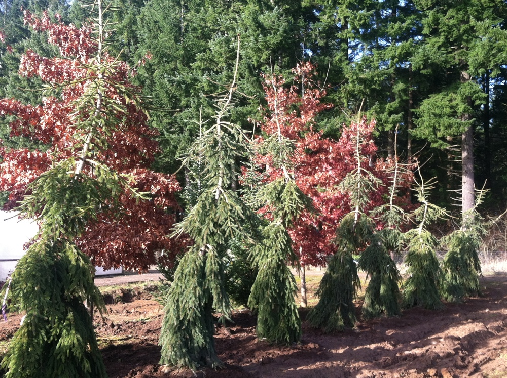 Picea abies 'Glauca Pendula' row of transplants