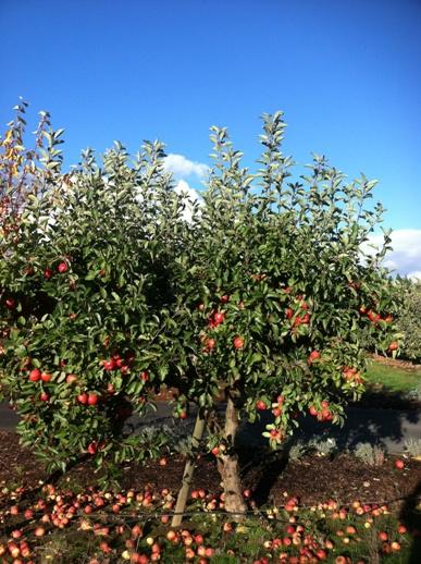 Specimen Gala Apple Tree