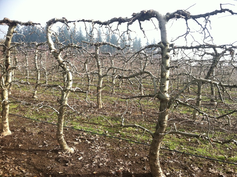 Jonagold Espalier Specimens- branching structure