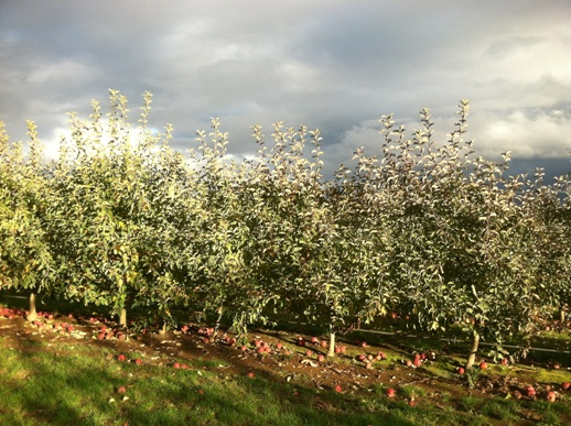 Specimen Espalier Apples provide instant screen