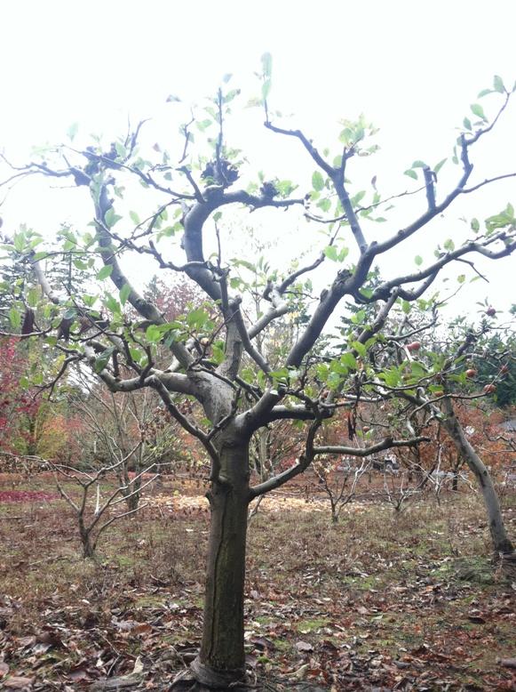 Specimen Melrose Apple tree