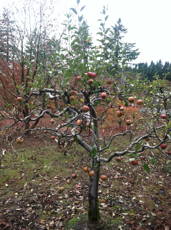 "Specimen Melrose Apple tree- 4"" caliper,  fruiting"