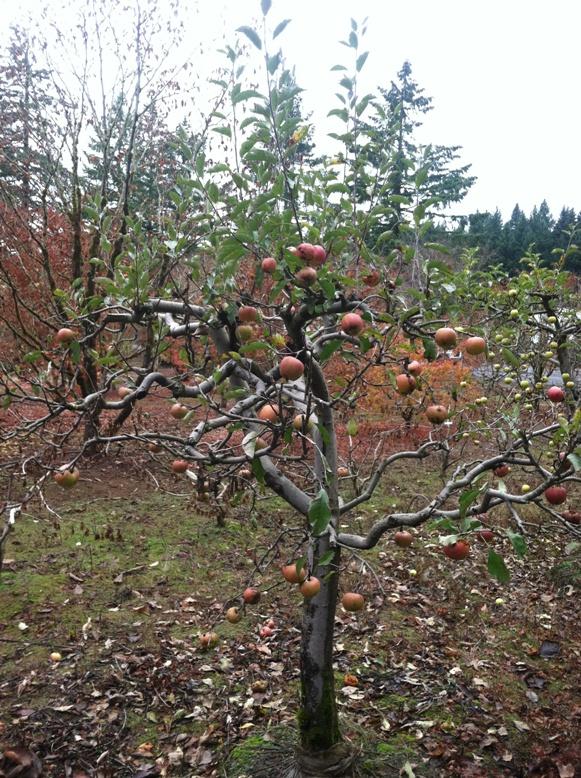 """Specimen Melrose Apple tree- 4"""" caliper, fruiting"""